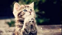Рекомендации фелинологов, или как отучить кошку писать где попало