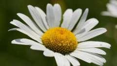 Ромашка: полезные свойства и противопоказания. Область применения растения