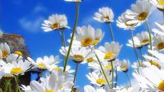 Ромашка садовая многолетняя - символ чистоты и россии