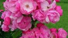 Роза анжела: описание и отзывы