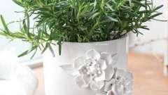 Розмарин в домашних условиях: выращивание и уход. Как выращивать розмарин в домашних условиях?