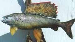 Рыба хариус: описание и место обитания