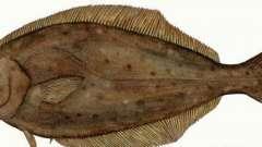 Рыба палтус: вред и польза
