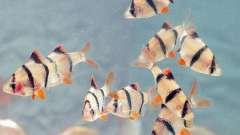 Рыбки барбусы, виды, содержание и уход