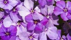 Садовый цветок флокс однолетний – выращивание из семян и уход