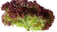"""Салат """"лолло росса"""": описание и особенности выращивания"""