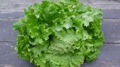 Салат. Выращивание в открытом грунте