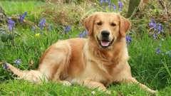 Самая красивая порода собак — топ-3