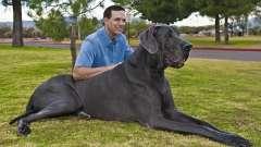 Самые крупные собаки в мире - о каких породах идет речь?