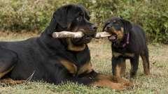 Самые преданные породы собак: описание и характер пород