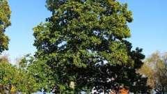 Съедобный каштан. Польза целебного дерева
