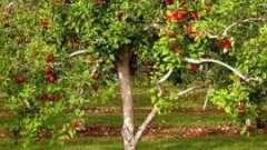Секреты садоводства: подкормка яблонь осенью