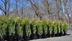 Секреты садоводства: посадка туи осенью