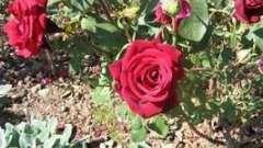 Секрыты садоводства: пересадка роз осенью