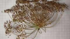 Семена укропа. Лечебные свойства и область применения