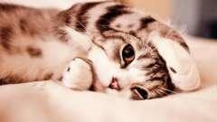 Сильное сотрясение у кота: симптомы
