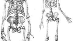 Скелет нижних конечностей человека: строение и функции