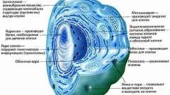 Сколько клеток в организме человека? Какие из них самые важные?