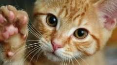 Сколько когтей у кошки на лапах?