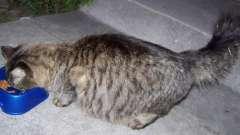 Сколько кошка вынашивает котят: полезная информация