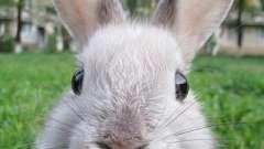 Сколько живут декоративные кролики в домашних условиях? Что влияет на продолжительность их жизни?