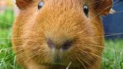 Сколько живут морские свинки в домашних условиях и как продлить сроки их бытия?