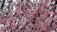 Слива ренклод: описание, выращивание и уход. Слива ренклод альтана