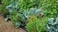 Смешанные посадки овощей: схемы и таблицы