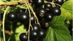 Смородина черная: уход осенью за плодовым кустарником