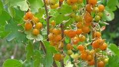 Смородина золотистая - полезный ягодник