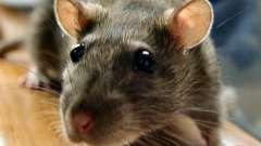 Сонник: что значит, если снилась крыса