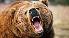 Сонник: к чему снились медведи