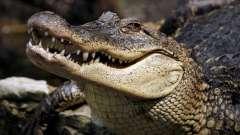 Сонник: к чему снятся крокодилы