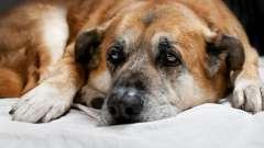 Сопли у собаки: симптомы, особенности лечения и рекомендации профессионалов