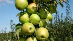 Сорт президент - яблоня колоновидная. Описание, фото