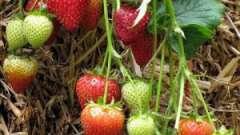 Советы опытных огородников: как подготовить грядку под клубнику