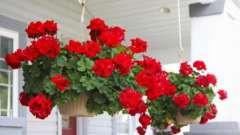 Советы садоводам: как ухаживать за геранью в домашних условиях