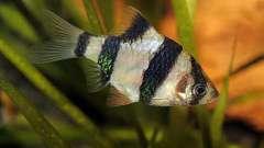 Совместимость барбусов с другими рыбами в аквариуме