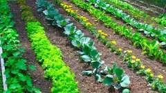 Совместимость овощей на грядках: советы огородников