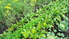 Совместимость растений на огороде: таблица. Совместимость овощей на огороде