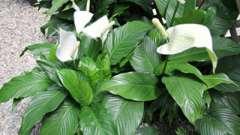 Спатифиллум - цветок женского счастья