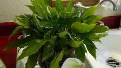 Спатифиллум: сохнут кончики листьев. Как помочь растению?