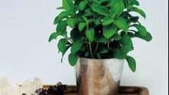 Стевия: выращивание, размножение, уход, применение