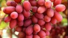 Столовый сорт винограда «преображение». Описание и особенности выращивания