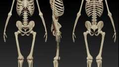 Структура и функции скелета человека. Строение скелета