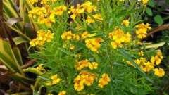 Тархун. Полезные свойства целебной травы