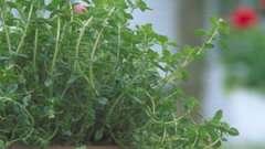 Тимьян: выращивание из семян