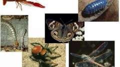 Тип членистоногие: общая характеристика, классификация