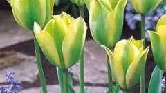 Тюльпаны: посадка осенью. Советы опытного садовода