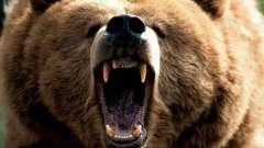 Толкование снов. К чему снятся медведи
